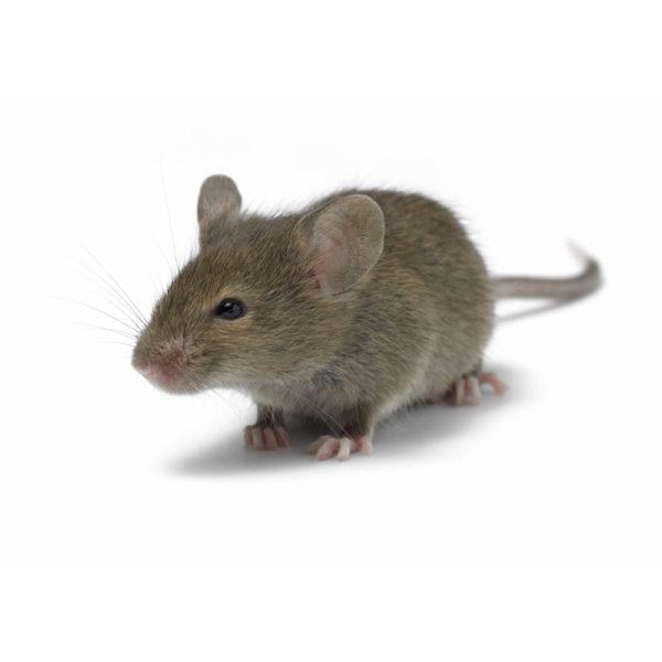 Мышь живая взрослая