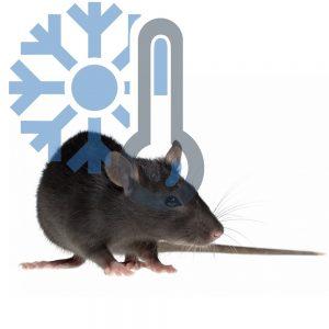 Крысы подростки (заморозка)