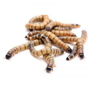 Личинки Зоофобаса